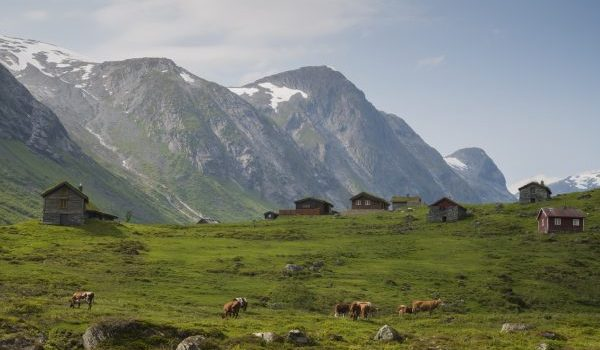 Nature Scene In Norway With Grazing Cows.